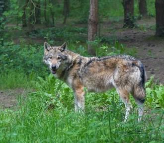 Wilk zginął pod kołami samochodu. Zwierzę wybiegło z lasu