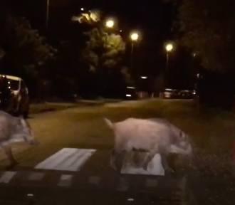Kraków. Stado dzików przyłapane na... przejściu dla pieszych [WIDEO]