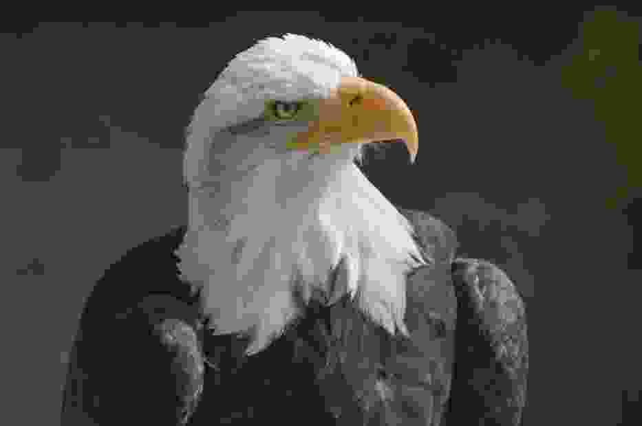Bald Eagle, by Lewi Hulbert, Creative Commons