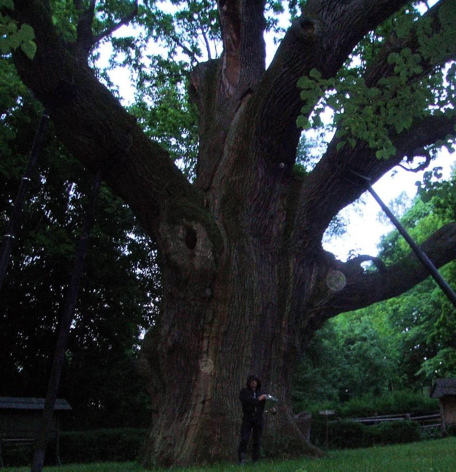 Bartek inaczej oak, magiczne drzewo zwane również entem