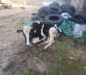 Właściciel skazał krowę na śmierć. Zagłodzona, połamana, leżała obok sterty śmieci
