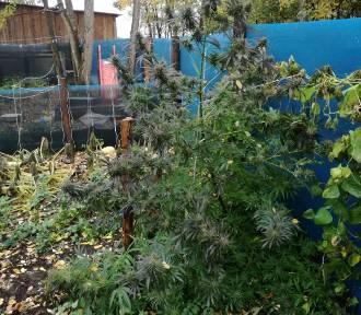 """23-letni ,,ogrodnik"""" zebrał 2 kg marihuany. To nie wszystko, co w jego domu znaleźli kryminalni"""