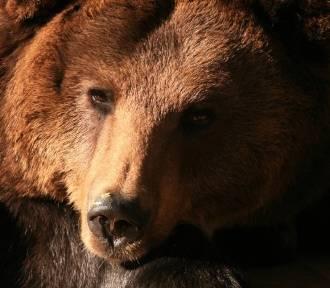 Odeszła niedźwiedzica Cytra, mieszkanka gdańskiego zoo