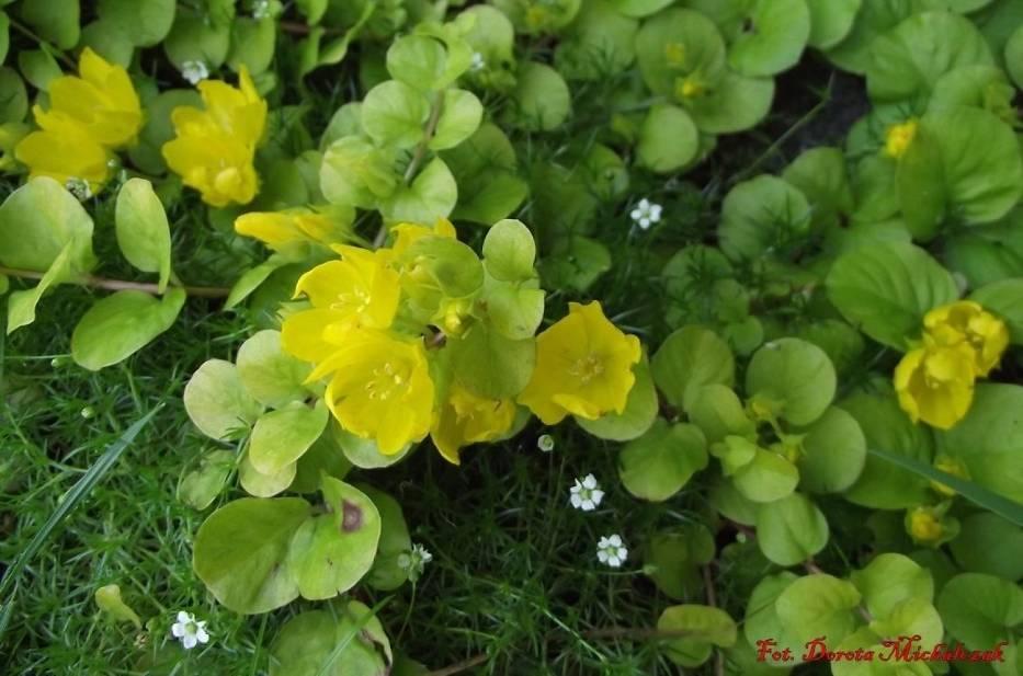 Tojeść rozesłana ze swoimi żółtymi kwiatami