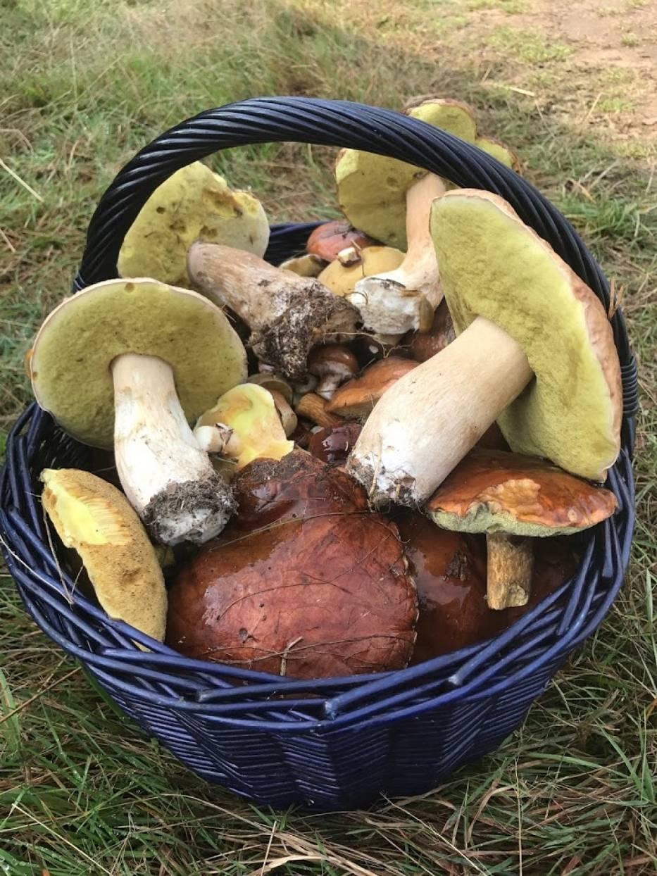 Jak zbierać grzyby. Wykręcać, czy wycinać? Prawidłowe zbieranie grzybów jest bardzo proste