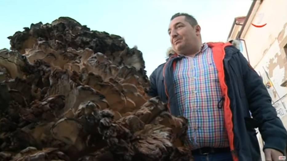 Za największy grzyb świata jeśli chodzi o zebrany owocnik uznaje się okaz wachlarzowca olbrzymiego znaleziony w Hiszpanii w 2019 roku