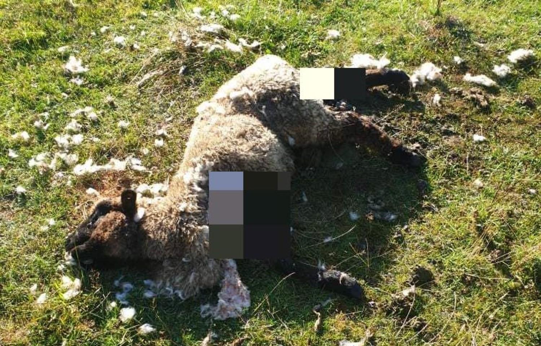 Owca zagryziona minionej nocy oraz podkopy pod siatką