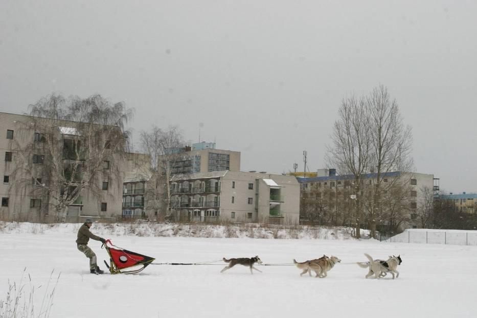 Wyścigi psich zaprzęgów w centralnej Polsce cieszą się coraz większą popularnością