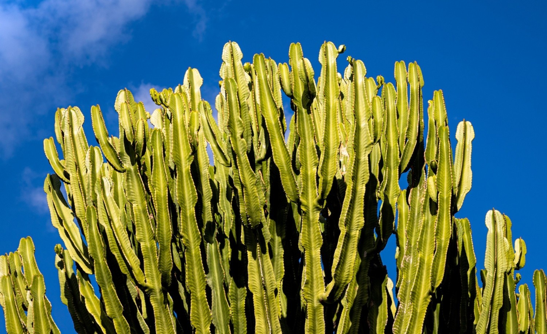 """Niektóre wilczomlecze przypominają kaktusy, inne uprawiamy ze względu na kolorowe """"kwiaty"""""""