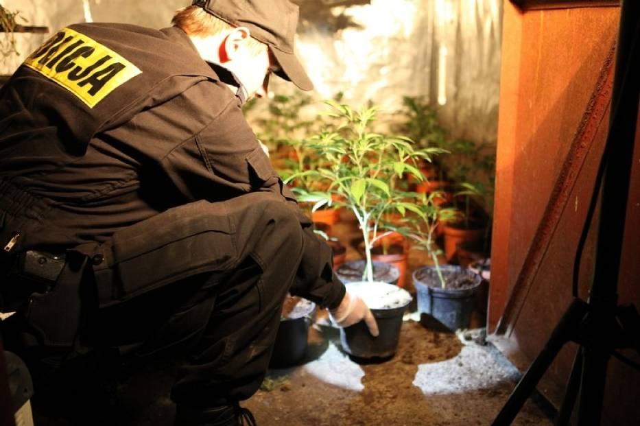 Plantacja marihuany w Luboniu
