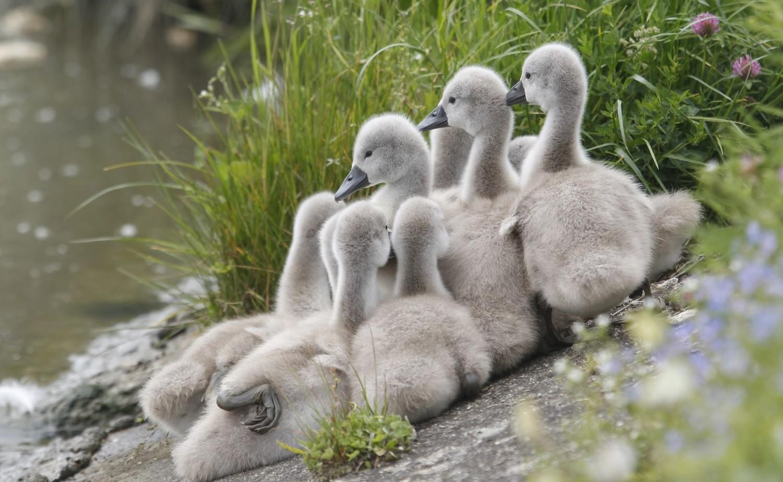 Młode łabędzie z mamą nad zalewem w Rzeszowie