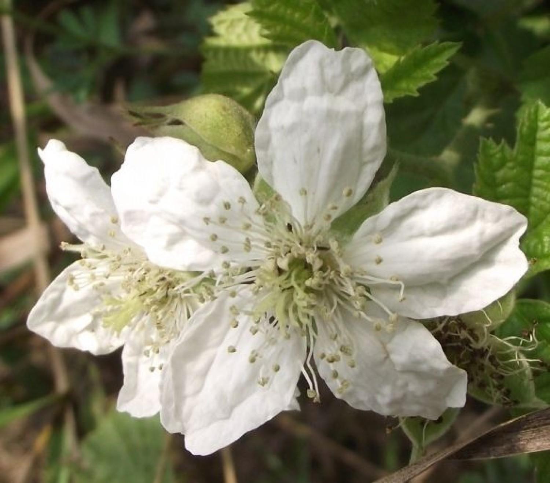Kwiat jeżyny polnej