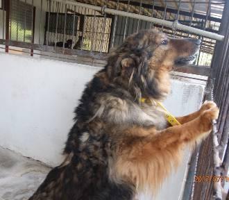 Psy ze schroniska w Piotrkowie do adopcji. Czekają na nowe domy [ZDJĘCIA]