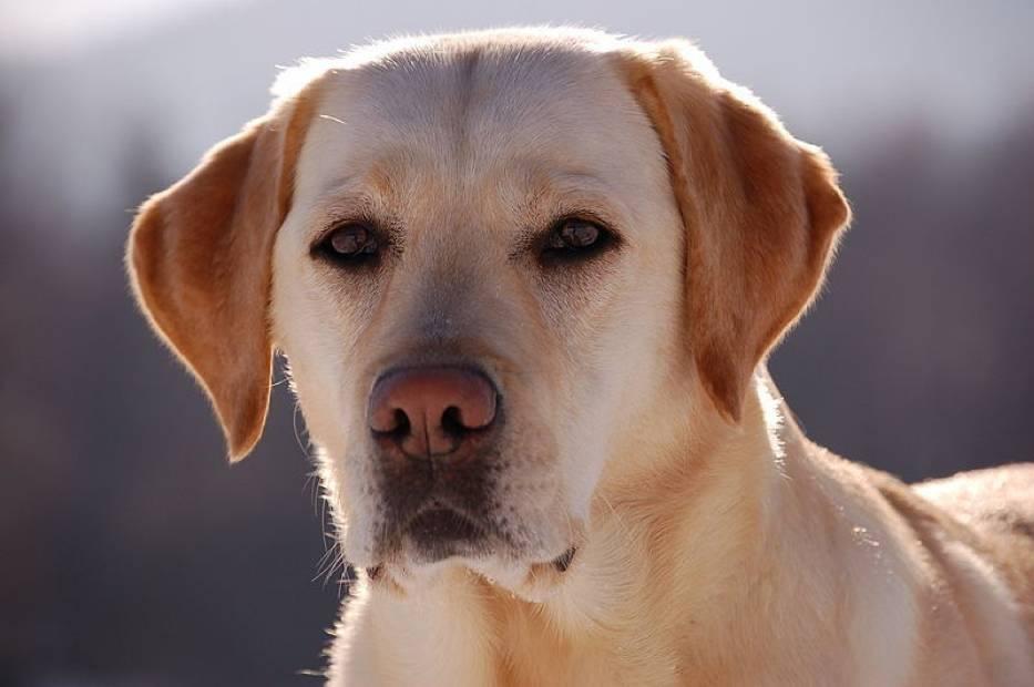 Labrador Retriever - rasa najczęściej używana przy dogoterapii