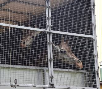 Żyrafy z poznańskiego zoo są już w nowym domu!