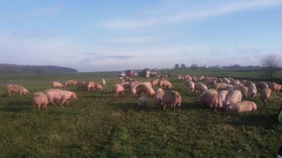 Na drodze Kijaszkowo - Tłukomy przewróciła się ciężarówka ze świniami