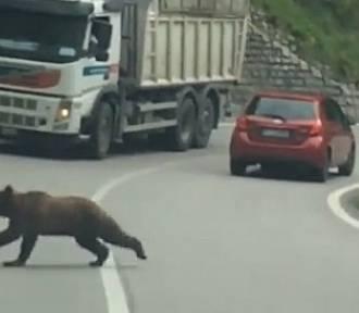 Niedźwiedzie na drodze do Szklarskiej Poręby? O filmik pytamy pracowników Karkonoskiego Parku