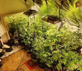 Plantacja marihuany w powiecie puławskim. Policjanci zabezpieczyli 112 krzaków konopi