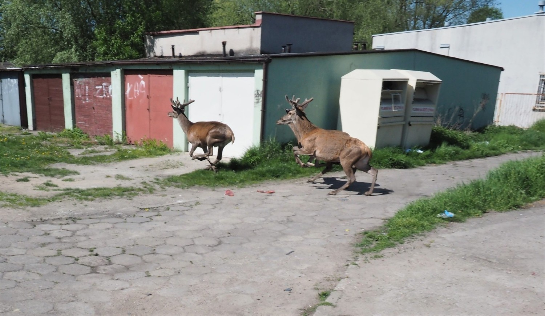 Trzy jelenie byczki zawędrowały na jedno z osiedli w Dąbiu
