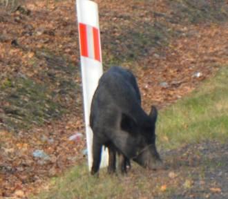 Uwaga na stado dzików w lesie w miejscowości Krępa. Zwierzęta można spotkać tuż przy drodze wojewódzkiej