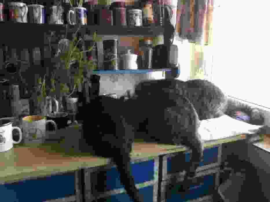 Kocie śniadanie na kuchennym blacie