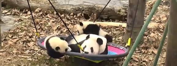 [bWolong jest jednym z 12 działających w Chinach rezerwatów pandy wielkiej. Gengda Wolong Panda Center to ośrodek prowadzący badania i hodowlę tych zwierząt, które zostały uznane za zagrożone wyginięciem.[/b]  Ogromne czarno-białe misie są bohaterami niezliczonej ilości zabawnych nagrań, filmików i memów, które możemy znaleźć w internecie. Ale my polecamy podglądanie tych niezwykłych zwierząt na żywo.  <iframe width=