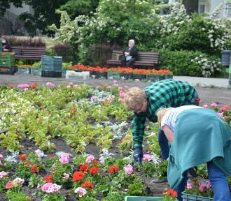 W Ostrowie zasadzą kolejne kwiaty