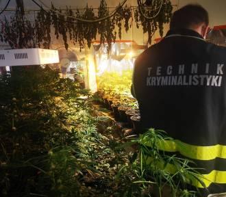Policjanci zabezpieczyli 437 krzaków konopi indyjskich i 2,5 kg gotowego narkotyku