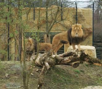 Lwy Atos i Portos oraz tygrys Diego są już na wybiegach w opolskim zoo