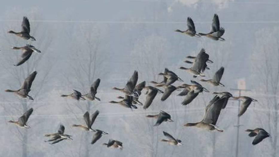 Stado dzikich gęsi wylądowało na S3 pod Skwierzyną