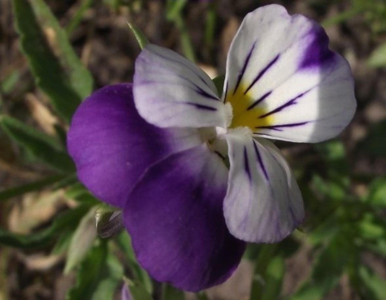 Bratek polny jest rośliną ozdobną i leczniczą: reguluje przemianę materii, działa moczopędnie, zmniejsza łamliwość naczyń krwionośnych