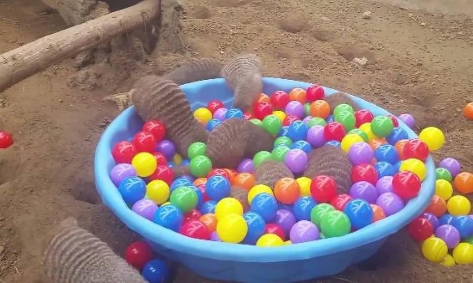 Mangusty i piłeczki w amerykańskim zoo