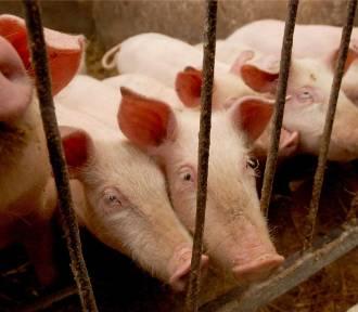 ASF na fermie świń w Niedoradzu. W obszarze zagrożonym trzy gminy