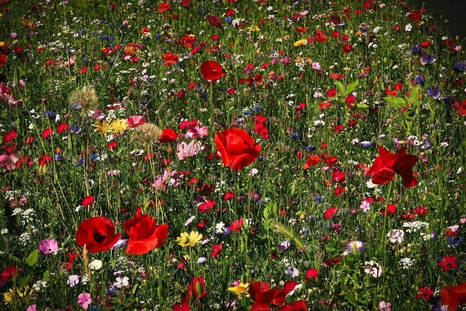Skąd wziąć nasiona na łąkę kwietną