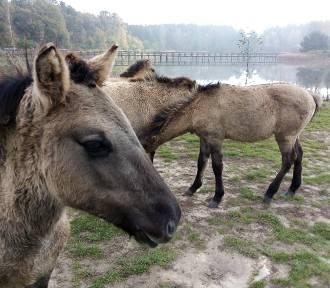 Zobacz zdjęcia dolnośląskich mustangów! Niezwykły rezerwat półdzikich koni! [ZDJĘCIA]