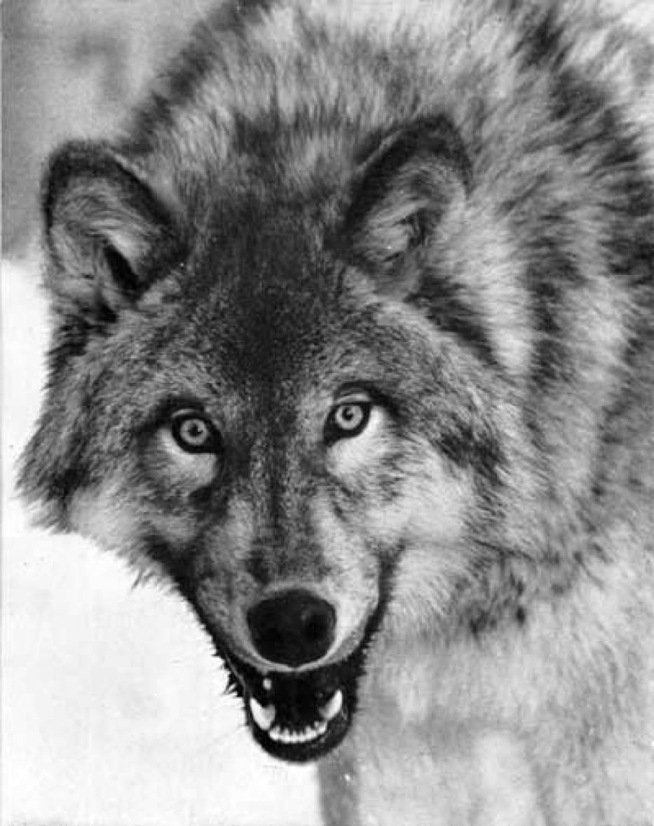 Mroczne spojrzenie wilka