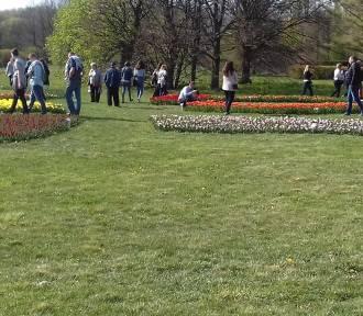 Ogród Botaniczny rozkwitł tulipanami na majówkę ZDJĘCIA