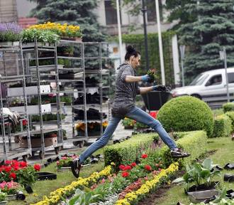 Powstaje dywan kwiatowy na Placu Słowiańskim w Legnicy [ZDJĘCIA]