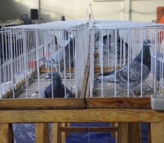 W Aleksandrowie Kujawskim odbyła się wystawa gołębi pocztowych [zdjęcia]