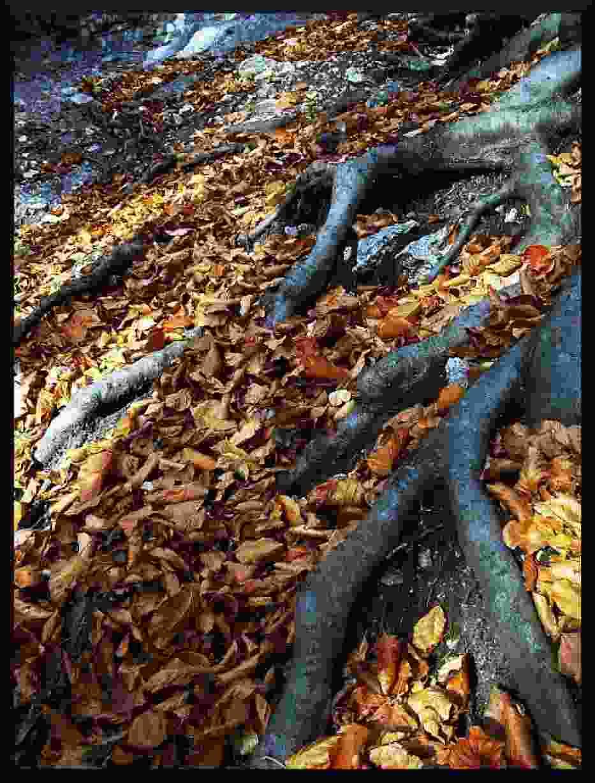Korzenie drzew wpijają się w wapienną skałę