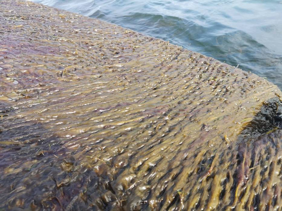 Dziwny śluz na sieciach rybaków z regionu Zatoki Puckiej