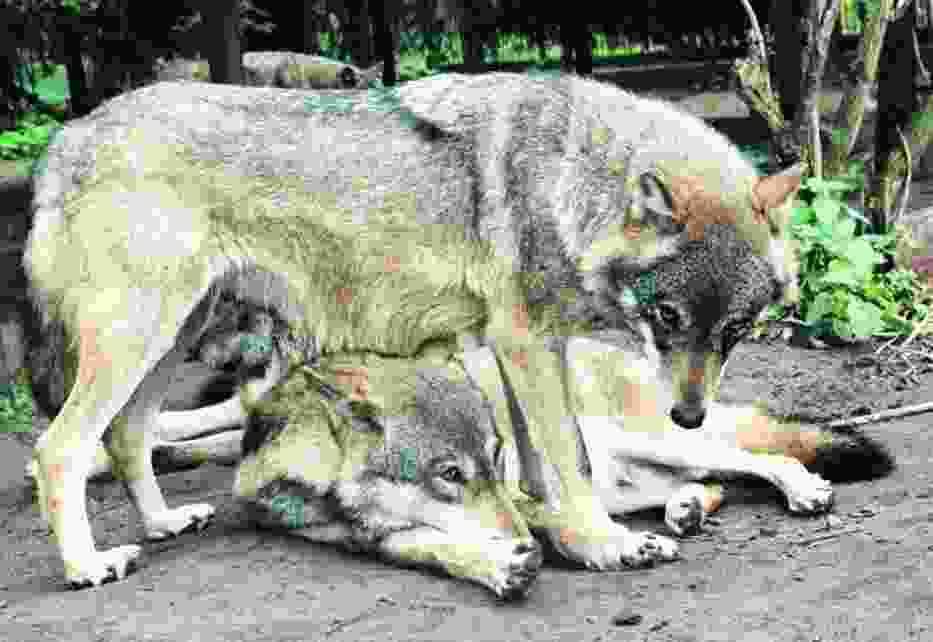 Wilki dożyją w Stobnicy swoich dni - obiecują naukowcy