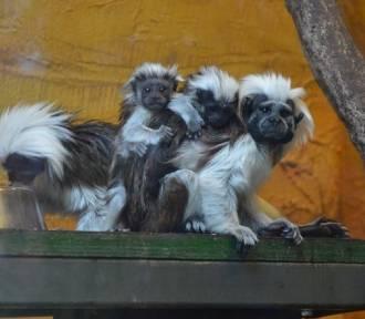 Małpy z zagrożonego wyginięciem gatunku tamaryn białoczubych urodziły się w Zoo Safari w Borysewie.