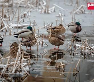 Wałbrzych: Zobacz zimowisko dzikiego ptactwa w centrum miasta [ZDJĘCIA]