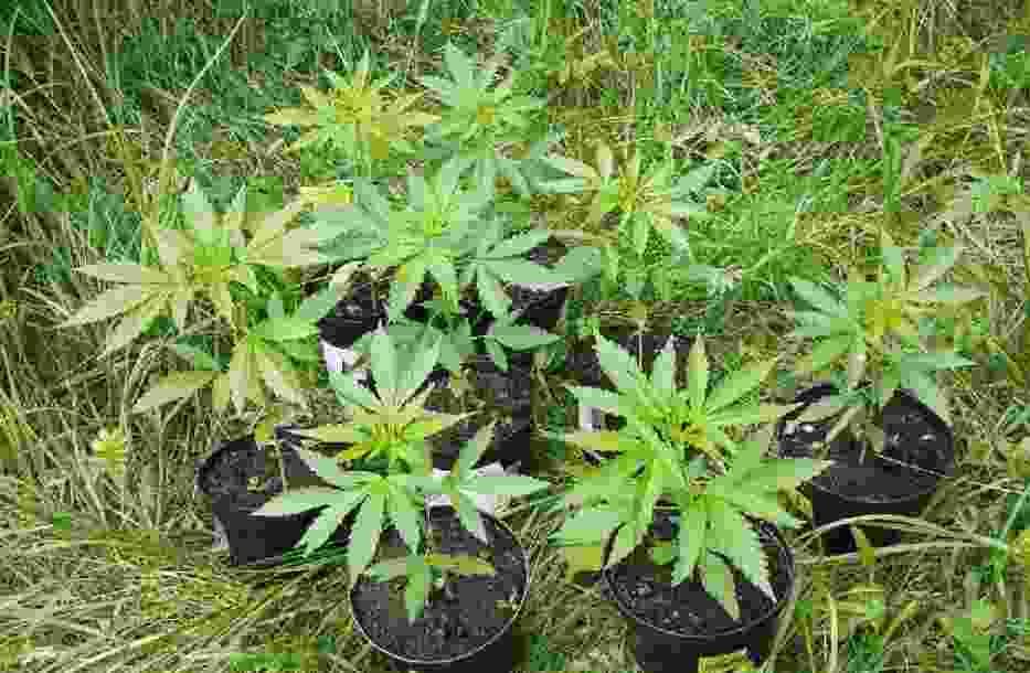 Warmińsko-mazurskie: Narkotyki w doniczkach uprawiał na polach