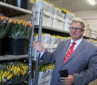Tulipany kwitną mimo pandemii koronawirusa i... trafiają na kompost