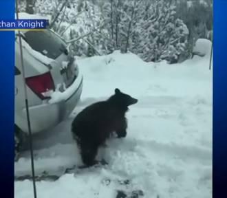 Seria włamań do aut. Złodziejem okazał się... niedźwiedź czarny! [ZDJĘCIA, FILM]