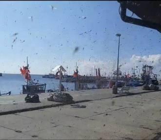Chmary owadów opanowały Półwysep Helski: osiadają na samochodach, elewacjach budynków