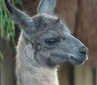 Nowy mieszkaniec we wrocławskim zoo. Urodziła się lama. Zobaczcie zdjęcia...