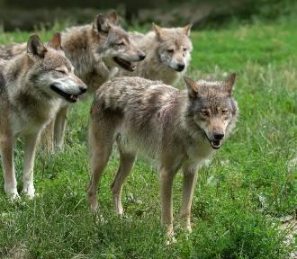 Zobacz co robią szczeniaki wilków w dolnośląskich lasach